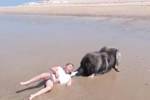 Chú chó quyết giải cứu cô chủ nhỏ khỏi sóng biển