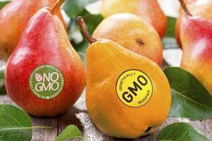 Không có loại cây trồng, thực phẩm nào được nghiên cứu kỹ như GMO