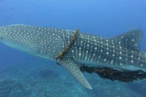Cá mập khốn khổ với 'vòng kim cô', được giải cứu ngoạn mục