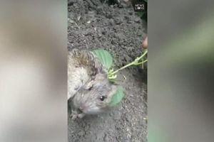 Kỳ lạ con chuột có mầm cây mọc ra từ sau lưng