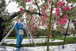 Khám phá táo tươi Aomori Nhật Bản