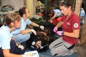 Thái Nguyên: Giải cứu thành công hai con gấu ngựa