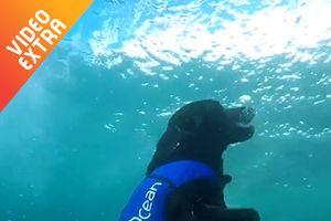 Chú chó liên tục lặn dưới biển, vớt chai lọ để bảo vệ môi trường