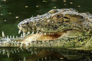 Cá sấu mang tật cả đời sau trận 'tử chiến' với đồng loại