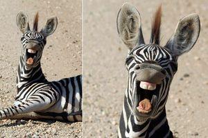 Ngựa vằn giả bộ nguy hiểm, giây sau trưng mặt cực hài