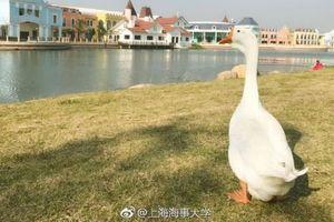 Ngỗng được nhận vào trường đại học Thượng Hải