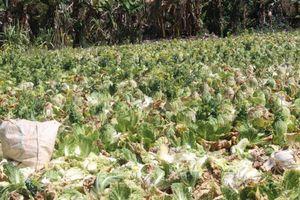 Nhà vườn Lâm Đồng điêu đứng vì giá rau rẻ