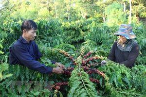 Cà phê tụt giá, người trồng thấp thỏm lo âu