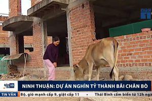 Siêu dự án nghìn tỷ bỏ hoang, biến thành bãi chăn bò ở Ninh Thuận