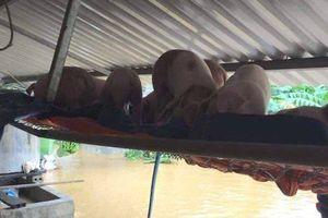 Lợn treo lên cao, người lội nước di chuyển do mưa ngập sâu