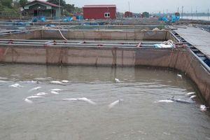 Cá lồng chết trắng kể từ khi thủy điện Hòa Bình xả đáy
