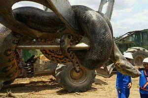 Cận cảnh con trăn lớn nhất thế giới: Nặng gần nửa tấn, vòng bụng 1m
