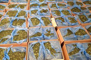 Cảnh báo những loại ma túy mới cực độc: Lá 'khat' độc gấp 500 lần ma túy thông thường