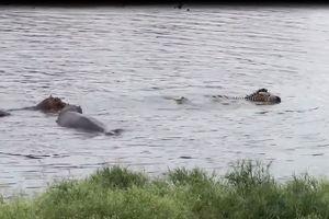 Hà mã tấn công cá sấu cứu ngựa vằn thoát chết ngoạn mục
