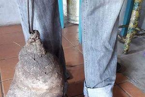 Lạ lùng củ khoai tây 8kg, y hệt bàn chân người khổng lồ
