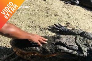 Anh chàng dùng tay không vuốt ve cá sấu khổng lồ