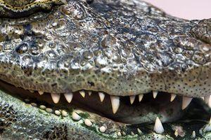 Mỹ: Cứu sống chó cưng, người phụ nữ tử vong do bị cá sấu tấn công