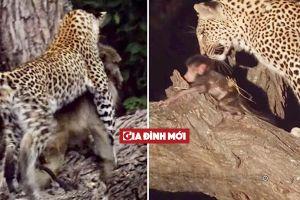 Sau khi ăn thịt khỉ mẹ, hành động của báo hoa mai với khỉ con khiến nhiều người kinh ngạc
