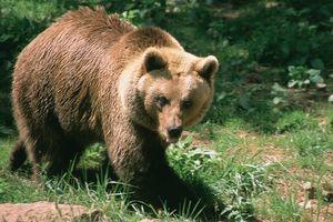Gấu khổng lồ bị bắn chết vẫn ngoạm chặt chân người, cứu hộ phải chặt lìa đầu giải cứu nạn nhân
