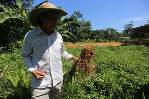 Người trồng nghệ ở Quảng Nam như...'đứng trên đống lửa'