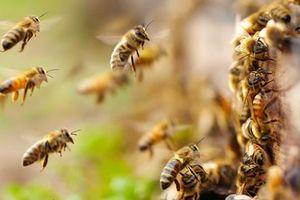 Ong vỡ tổ tấn công, 3 trẻ phải cấp cứu trong tình trạng nguy kịch