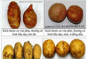 Phân biệt khoai tây Trung Quốc 'đội lốt' khoai tây Đà Lạt