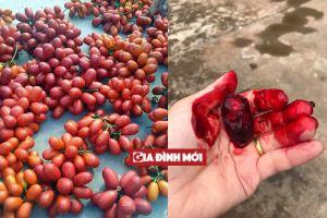 Quả dại kỳ lạ ở Việt Nam: Nhựa chảy đỏ tươi như máu người