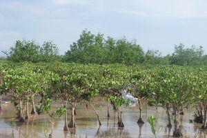 Quảng Ninh: Phát triển rừng ngập mặn vì môi trường sinh thái