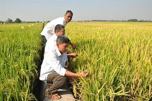 Hành trình cho giống lúa mới