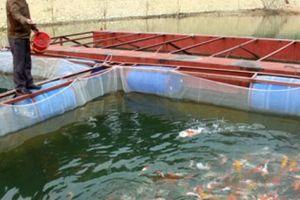 Ra hồ Thác Bà nuôi cá đặc sản, cá Koi, kiếm bộn tiền