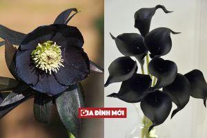 Những loài hoa màu đen có vẻ đẹp huyền bí không ai cưỡng lại nổi
