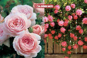 Cách trồng hồng leo đơn giản, ai cũng có thể làm theo để trang trí ban công nhà