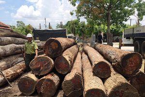 Chi cục trưởng Kiểm lâm Đắk Lắk giao nộp 8m3 gỗ liên quan Phượng 'râu'