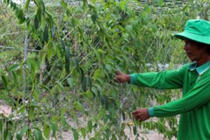 Mang cây dại về trồng ở đất cát, thu hơn 1 tỷ đồng/ha