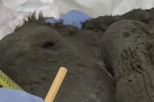 Tìm thấy xác ngựa con cổ đại 40.000 năm tuổi còn nguyên vẹn