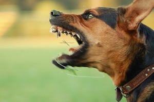 Những thông tin bạn phải biết sau vụ chó béc - giê cắn chết người đàn ông ở Hà Nội