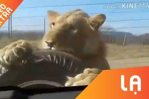 Sư tử 'treo mình' sau ôtô dọa khách tham quan