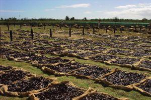 Đổ máu vì những giọt hương vani ở Madagascar: Xách mã tấu đi tuần giữa đêm