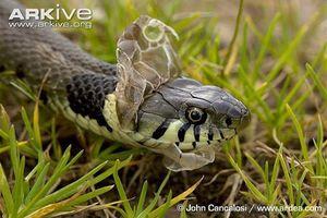 Cách dùng các bộ phận của con rắn làm thuốc chữa bệnh