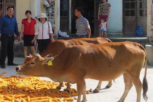Bảo tồn bền vững gen bò vàng Thanh Hóa
