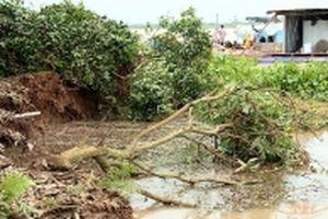 Sạt lở nghiêm trọng, hàng chục hộ dân Vĩnh Long bị ảnh hưởng sản xuất