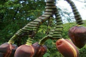 Điện Biên: Hoa chuối kỳ lạ, mọc dài ngoẵng, có tới 5 bắp