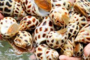 Hà Tĩnh: Nuôi ốc hương cũng bị côn đồ bảo kê, đòi nộp 20.000 đ/kg