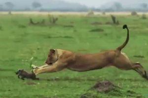 Màn truy đuổi ngoạn mục và cái kết của lợn rừng dưới nanh vuốt sư tử