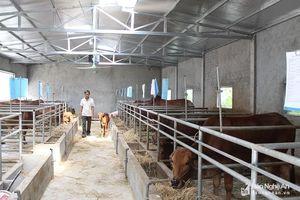 Nông dân ở Nghệ An lắp dàn âm thanh lớn cho bò nghe nhạc cả ngày
