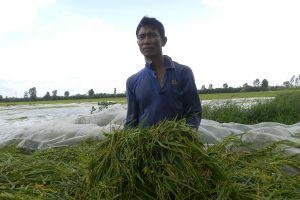 An Giang: Hàng ngàn nông dân khóc ròng vì lúa bị lũ nhấn chìm