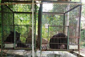 Chấm dứt hoạt động nuôi nhốt gấu lấy mật cuối cùng tại cơ sở tư nhân ở Tiền Giang