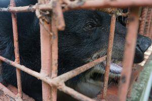 Chấm dứt tình trạng nuôi nhốt gấu tại cơ sở tư nhân