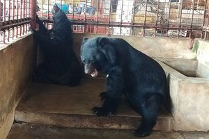 Một hộ dân tự nguyện bàn giao 5 cá thể Gấu 'khủng' về thiên nhiên
