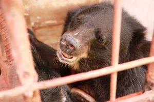 Chấm dứt hoạt động nuôi nhốt gấu lấy mật